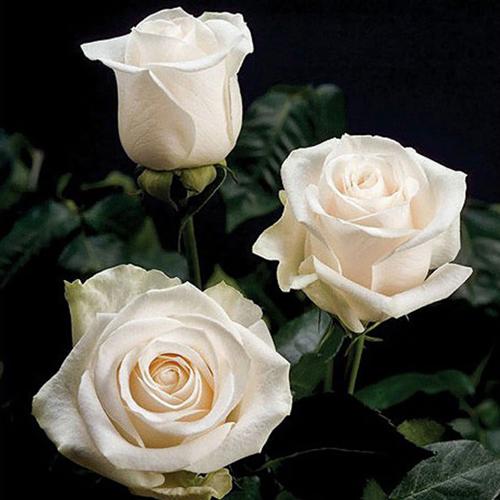 Картинки по запросу роза венделла