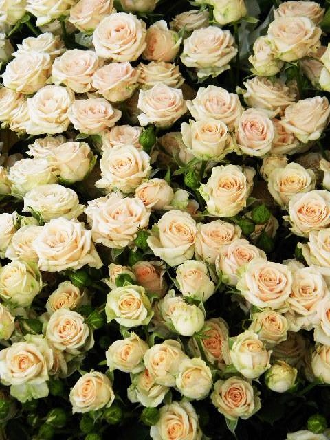 Роза кустовая яна фото